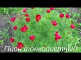 [ВИДЕО] Многолетние цветы