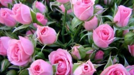 [ВИДЕО] Технология выращивания роз
