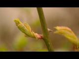 [ВИДЕО] Выращивание роз из черенков