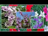 [ВИДЕО] 4 самых неприхотливых однолетних цветущих лианы