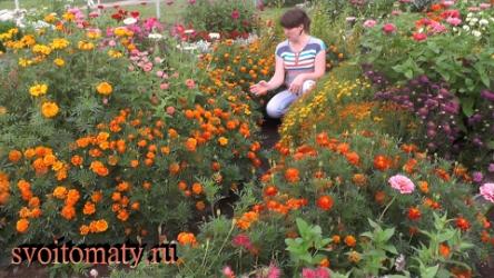 [ВИДЕО] Бархатцы: выращивание и уход