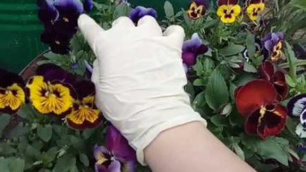 [ВИДЕО] Секрет выращивания Виолы