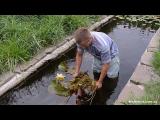 [ВИДЕО] Посадка водяной лилии в пруд
