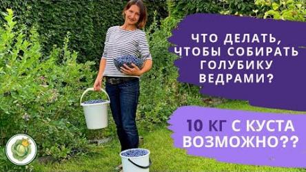 [ВИДЕО] Собираем урожай голубики