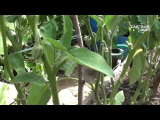[ВИДЕО] Болезни баклажанов
