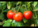 [ВИДЕО] Все о поливе помидор