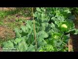 [ВИДЕО] Подкормка капусты