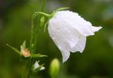 Колокольчик: описание, сорта, посадка и уход, выращивание из семян | (50 Фото &  Видео) +Отзывы