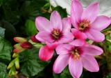 Иксия: описание, виды, посадка и уход в открытом грунте: выращивание звездного многолетника в саду   (60+ Фото & Видео) +Отзывы