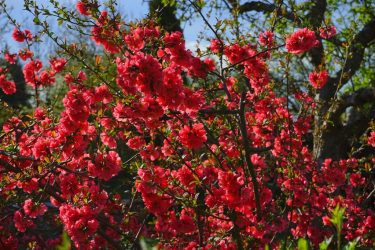 Айва: правила посадки в открытый грунт, уход за плодовым деревом с душистыми плодами от Подмосковья до Сибири. Способы размножения (35 Фото & Видео) +Отзывы
