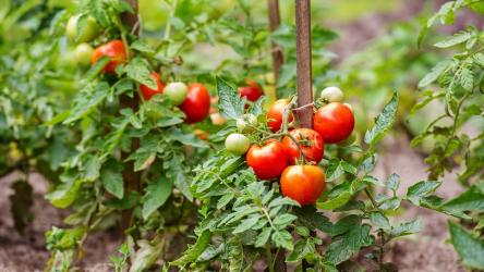 [Инструкция] Как правильно пасынковать помидоры в теплице и открытом грунте: пошаговое разъяснение правильности процедуры (Фото & Видео) +Отзывы