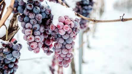 Как правильно укрыть виноград на зиму: мероприятия и способы укрытия в средней полосе, Сибири, Урале | (Фото & Видео)