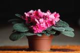 Как заставить фиалки обильно цвести? ТОП-6 Способов: описание простых секретов правильного ухода   (Фото & Видео) +Отзывы