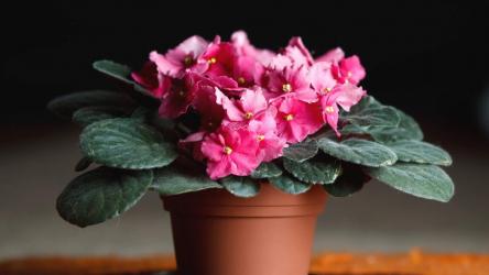 Как заставить фиалки обильно цвести? ТОП-6 Способов: описание простых секретов правильного ухода | (Фото & Видео) +Отзывы