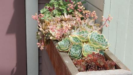 Каменная роза домашняя (Молодило): описание, виды, особенности посадки, размножения, выращивания и применения в ландшафтном дизайне | (100+ Фото & Видео)