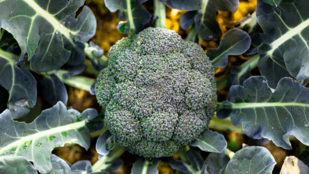 Капуста брокколи: выращивание и уход в открытом грунте, характеристика сортов | (Фото & Видео) +Отзывы