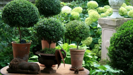 Цветок Мирт обыкновенный: посадка, выращивание и уход в домашних условиях (25+ Фото & Видео) + Отзывы