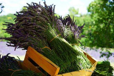 Красота и аромат: выращивание Лаванды из семян у себя дома. Описание, разновидности, посадка и уход, стратификация (50+ Фото & Видео) +Отзывы