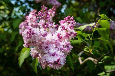 Сирень: описание, виды и сорта, посадка в открытом грунте и уход за декоративным кустарником (85 Фото & Видео) +Отзывы