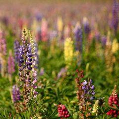 Люпины многолетние: описание растения, выращивание из семян, посадка в открытый грунт и уход за ними (50+ Фото & Видео) +Отзывы