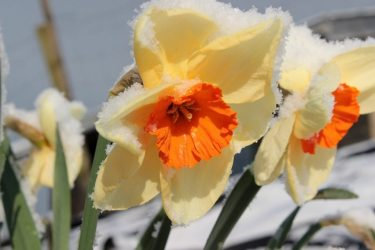Нарциссы: описание, посадка и уход в открытом грунте, пересадка, размножение, когда выкапывать и что делать после цветения (55+ Фото & Видео) +Отзывы