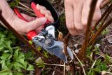 Обрезка ремонтантной малины: особенности ухода за кустарником | (Фото & Видео)