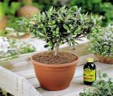 Как вырастить оливковое дерево в домашних условиях  – от выбора сорта, до сбора урожая   (50+ Фото и Видео)