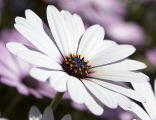 Маргаритки: описание, сорта многолетние и двухлетние, выращивание из семян, размножение и уход (50 Фото & Видео) +Отзывы
