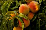 Персик: выращивание из косточки в домашних условиях, особенности ухода для средней полосы и других регионов   (Фото & Видео) +Отзывы