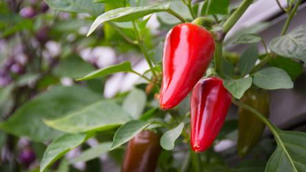 Перец: описание, выращивание из семян, посадка в открытый грунт и уход (Фото & Видео) +Отзывы