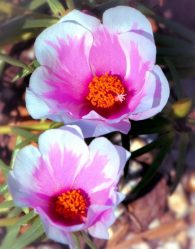 Портулак: описание, посадка и уход за неприхотливым цветущим суккулентом, виды и сорта, лечебные свойства (55+ Фото & Видео) +Отзывы