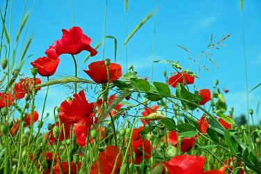 Мак — яркое декоративное растение: описание многолетних и однолетних цветов, посадка и уход, способы размножения, возможные болезни  (70 Фото & Видео) +Отзывы