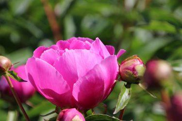 Пионы — конкуренты роз: описание и характеристика 30 сортов, все что вам следует знать о них (50 Фото & Видео) +Отзывы
