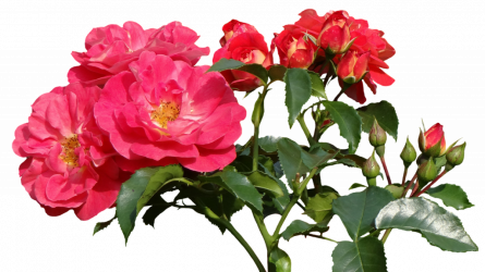 розы описание сортов