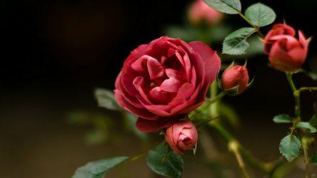 Как вырастить розы в своем саду: посадка и уход — краткая энциклопедия для начинающих садоводов (170 Фото)
