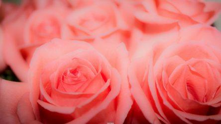 Роза: описание 16 сортов, особенности и уход — такая разная королева цветов (150 Фото & Видео) +Отзывы