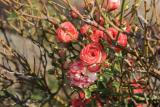 Розы: особенности осеннего ухода за ними, все что нужно знать о нем (Фото & Видео) +Отзывы