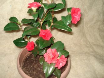 Японская камелия в домашних условиях — зимний цветок из Азии: описание, сорта, выращивание и уход, размножение (100+ Фото & Видео) +Отзывы
