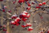 Калина: описание, посадка и уход за растением, применение, плодовые и декоративные сорта, размножение, болезни и вредители   (Фото & Видео)