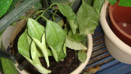 Почему у растений скручиваются листья? | ТОП-5 Основных причин
