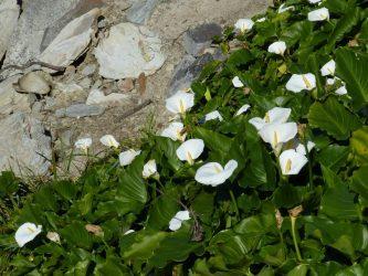 Каллы: уход в домашних условиях — особенности экзотического растения (30+ Фото) +Отзывы