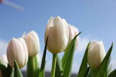 Как вырастить тюльпаны к 8 марта в домашних условиях? Посадка, выгонка, хранение и другие тонкости