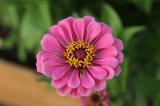 Цинния: описание, посадка в открытый грунт, уход за однолетником с самым продолжительным цветением (95 Фото & Видео) +Отзывы